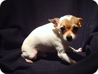 Chihuahua Dog for adoption in Texarkana, Texas - Bishop ADOPTED TX