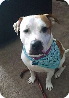 American Pit Bull Terrier Mix Dog for adoption in West Allis, Wisconsin - Tubbs