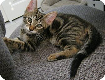 Domestic Shorthair Kitten for adoption in Vacaville, California - Buzby