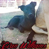 Adopt A Pet :: Evan Williams - Odessa, TX