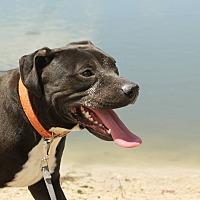 Adopt A Pet :: Indigo - Sarasota, FL