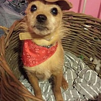 Chihuahua/Terrier (Unknown Type, Medium) Mix Dog for adoption in Fenton, Missouri - Peewee