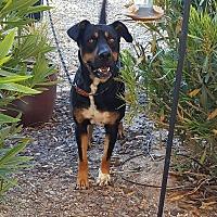 Adopt A Pet :: Remington - Buckeye, AZ