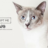Siamese Cat for adoption in Fort Lauderdale, Florida - Leo