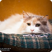 Domestic Longhair Cat for adoption in Circleville, Ohio - Luna