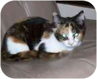 Calico Kitten for adoption in Tampa, Florida - Twinkle