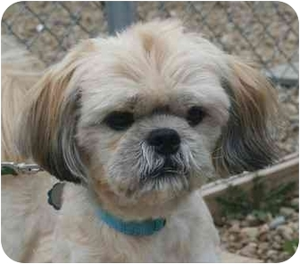 Lhasa Apso Mix Dog for adoption in Berea, Ohio - Nick