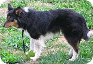 Border Collie Mix Dog for adoption in Oliver Springs, Tennessee - Rebel