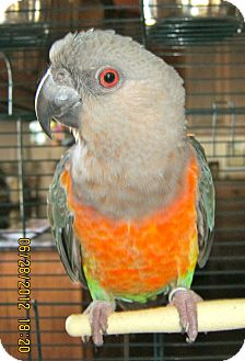 Parrot - Other for adoption in Burleson, Texas - Peanut