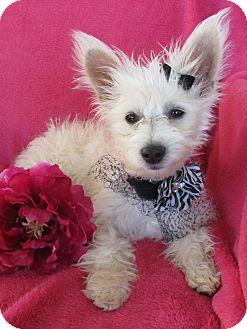 Maltese/Westie, West Highland White Terrier Mix Puppy for adoption in Irvine, California - Love Muffin