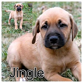 German Shepherd Dog/Labrador Retriever Mix Puppy for adoption in Garden City, Michigan - Jingle
