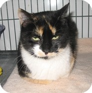 Domestic Shorthair Cat for adoption in Shelton, Washington - Violet