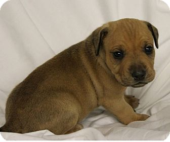 Labrador Retriever/Pit Bull Terrier Mix Puppy for adoption in Woodlyn, Pennsylvania - Reese