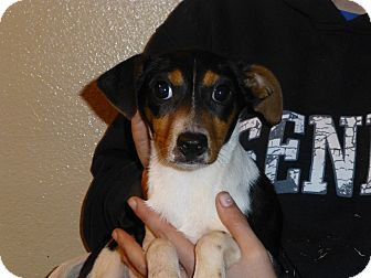 Rat Terrier/Dachshund Mix Puppy for adoption in Oviedo, Florida - Sage