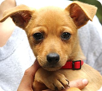 Chihuahua/Beagle Mix Puppy for adoption in Pewaukee, Wisconsin - Taylor