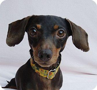 Dachshund Dog for adoption in Charlotte, North Carolina - Abby