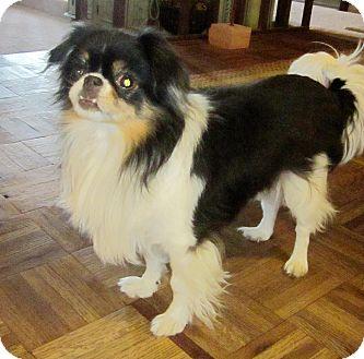 Japanese Chin Dog for adoption in Aurora, Colorado - Dora