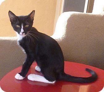 Domestic Shorthair Kitten for adoption in Fountain Hills, Arizona - Puffin