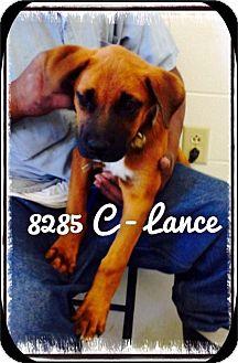 Labrador Retriever Mix Puppy for adoption in Dillon, South Carolina - Lance