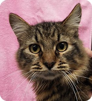 Domestic Longhair Cat for adoption in Grants Pass, Oregon - Conrad