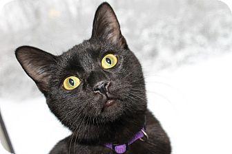 Domestic Shorthair Kitten for adoption in Chattanooga, Tennessee - Jasper