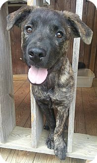 Labrador Retriever/Mountain Cur Mix Puppy for adoption in Hagerstown, Maryland - Rita