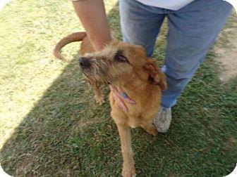 Irish Wolfhound Mix Dog for adoption in West Warwick, Rhode Island - Tramp