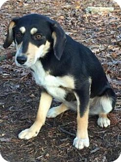 Beagle/Mountain Cur Mix Dog for adoption in Hagerstown, Maryland - Loretta