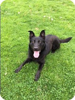 German Shepherd Dog/Labrador Retriever Mix Dog for adoption in New Albany, Ohio - Prince