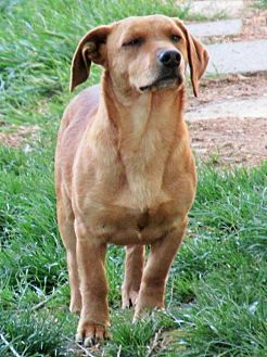 Dachshund Mix Dog for adoption in Johnson City, Tennessee - Loki