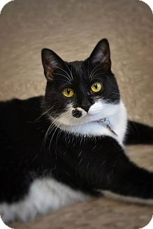 Domestic Shorthair Cat for adoption in Byron Center, Michigan - Beazy