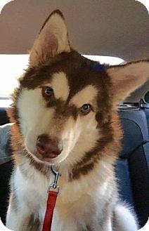 Alaskan Malamute Dog for adoption in Coldwater, Michigan - Kota - IN TRAINING