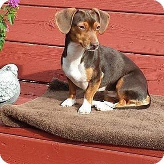 Dachshund Mix Puppy for adoption in Flushing, Michigan - Nicky