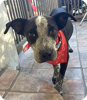 Labrador Retriever/German Shorthaired Pointer Mix Puppy for adoption in Santa Ana, California - Betsy (BH)