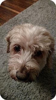 Cockapoo Mix Dog for adoption in Buffalo, New York - Maggie