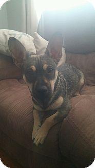 Dachshund/German Shepherd Dog Mix Dog for adoption in Odessa, Texas - B.B.