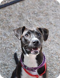 Labrador Retriever/Pointer Mix Puppy for adoption in Harrisville, Rhode Island - Tilly
