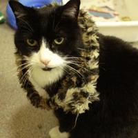 Domestic Shorthair/Domestic Shorthair Mix Cat for adoption in Stanwood, Washington - Megan