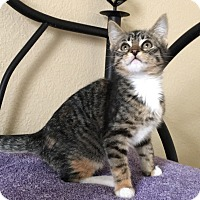 Domestic Shorthair Kitten for adoption in Plano, Texas - DIXIE - SPUNKY BOTTLE BABY!