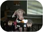 Weimaraner Dog for adoption in Eustis, Florida - Emma Marie