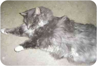 Domestic Longhair Cat for adoption in Strathmore, Alberta - Parker