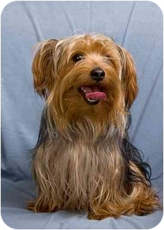 Yorkie, Yorkshire Terrier Dog for adoption in Anna, Illinois - HARLEY BOB