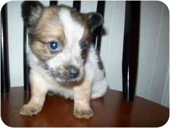 Pomeranian Mix Puppy for adoption in Bel Air, Maryland - Fiona