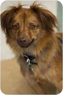 Papillon/Terrier (Unknown Type, Small) Mix Dog for adoption in Portland, Oregon - Snoopy