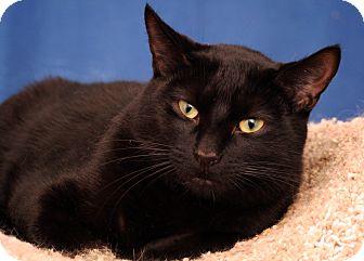 Domestic Shorthair Cat for adoption in Royal Oak, Michigan - ROMEO
