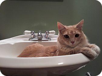 Domestic Longhair Cat for adoption in St. Louis, Missouri - Chloe