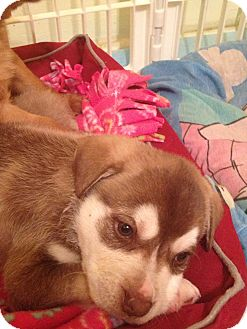 Husky/Golden Retriever Mix Puppy for adoption in waterbury, Connecticut - Mack