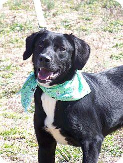 Labrador Retriever/Terrier (Unknown Type, Small) Mix Puppy for adoption in Batesville, Arkansas - Skunk