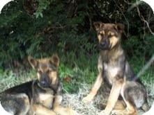 German Shepherd Dog Mix Dog for adoption in Manchester, Connecticut - BART adoption pending