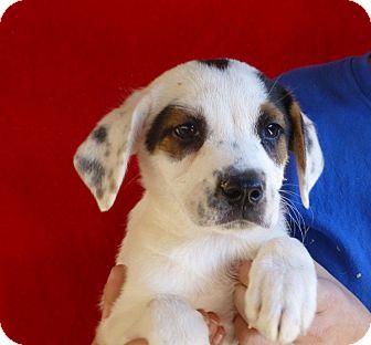 Labrador Retriever Mix Puppy for adoption in Oviedo, Florida - Will